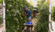 El cultivo de la judía verde y elboliche