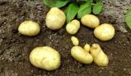 Primeras patatas de2013