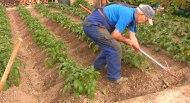 El cultivo de lapatata