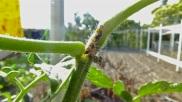 16- Se alimentan también en el tallo y en el fruto