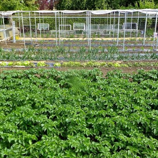 7 de Junio. Patatas,Cebollas,Pimientos y Tomates