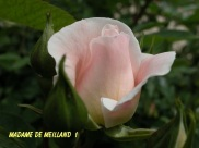 Madame de Meilland 1