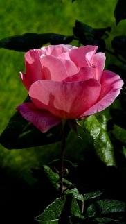 Rosas (1)