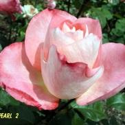 Sea Pearl 2