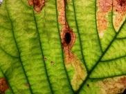 10- En el envés de la hoja se forma una protuberancia donde el insecto deposita el huevo, quedando encapsulado (2)