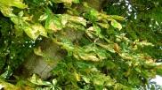 5-Aspecto general de las hojas afectadas