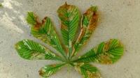 Cameraria o Minador de hojas del Castaño deIndias