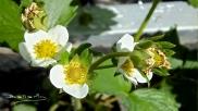 Primeros floración de la fresa
