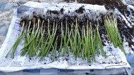 Plantar cebollas