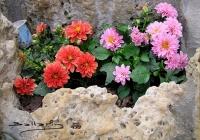 Plantar bulbos de Dalia enmaceta