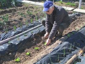 Plantando las lechugas (1)