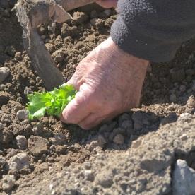 Plantando las lechugas (2)