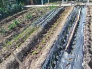 Lechugas plantadas (2)