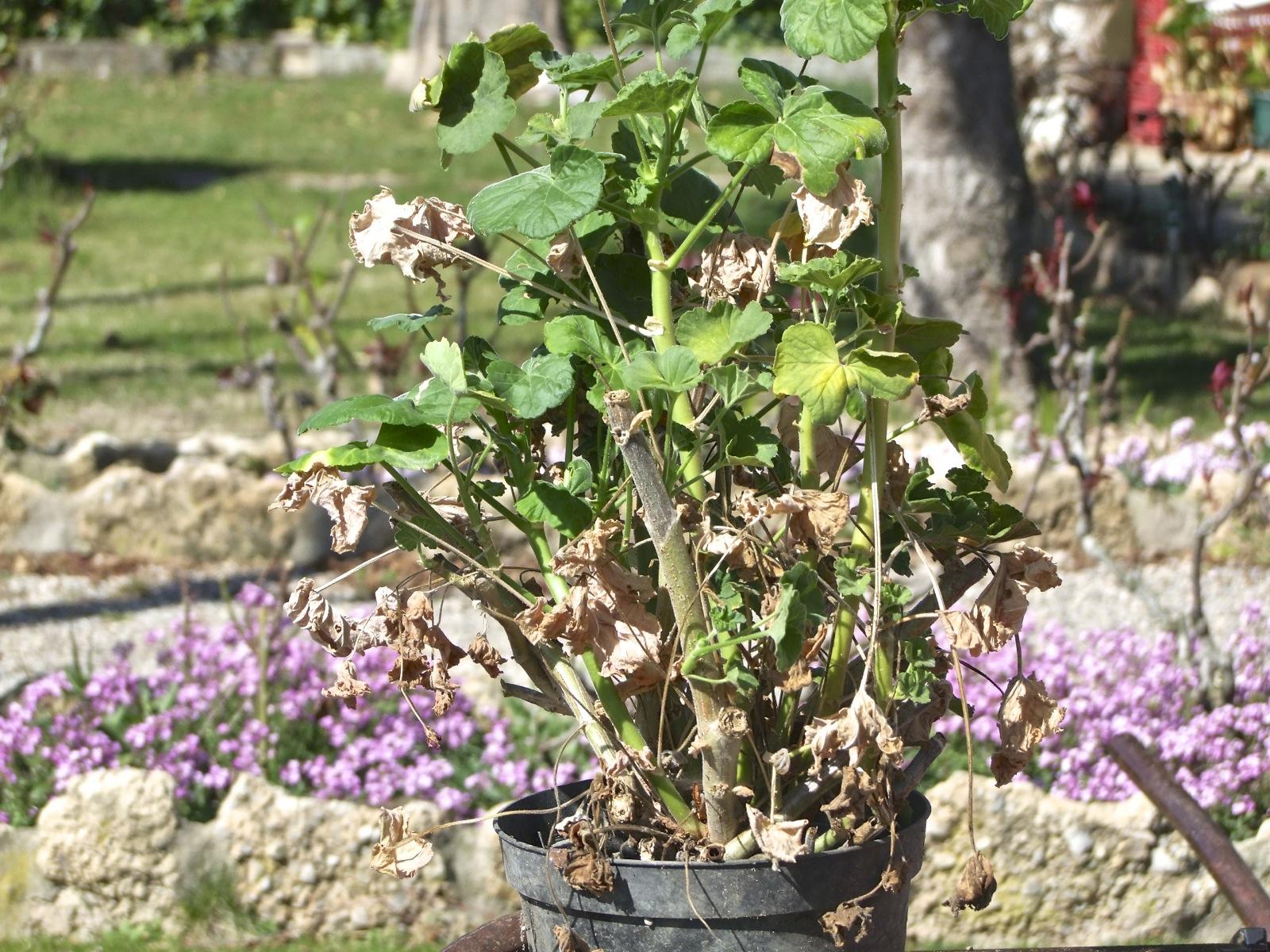 Poda de geranios el huerto familiar - Poda de hortensias en maceta ...