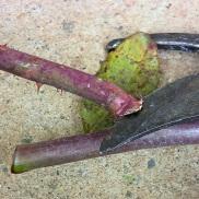 Corte para reproducir rosal