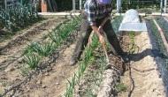 Entrecavar los ajos