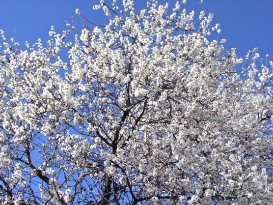 Floración del almendro 1