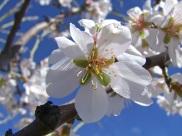 Floración del almendro 2