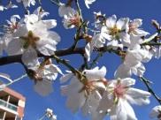 Floración del almendro 3