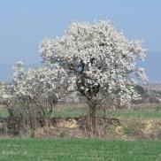 Floración del almendro 4