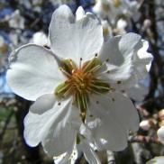 Floración del almendro 5