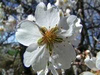 Floración de losalmendros