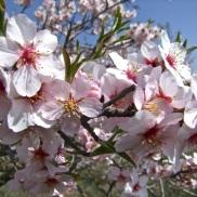 Floración del almendro 6