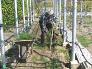 Retirando las malas hierbas ( Irán al montón del compost)