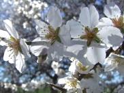 Floración del almendro 7
