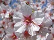 Floración del almendro 8