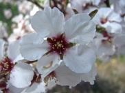 Floración del almendro 9