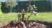 Plantar un rosal