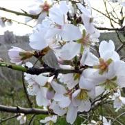 Floración del almendro 10