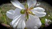Floración del almendro 11