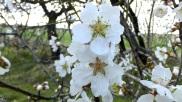 Floración del almendro 12