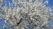 Floración del almendro 13