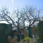Manzano antes de la poda