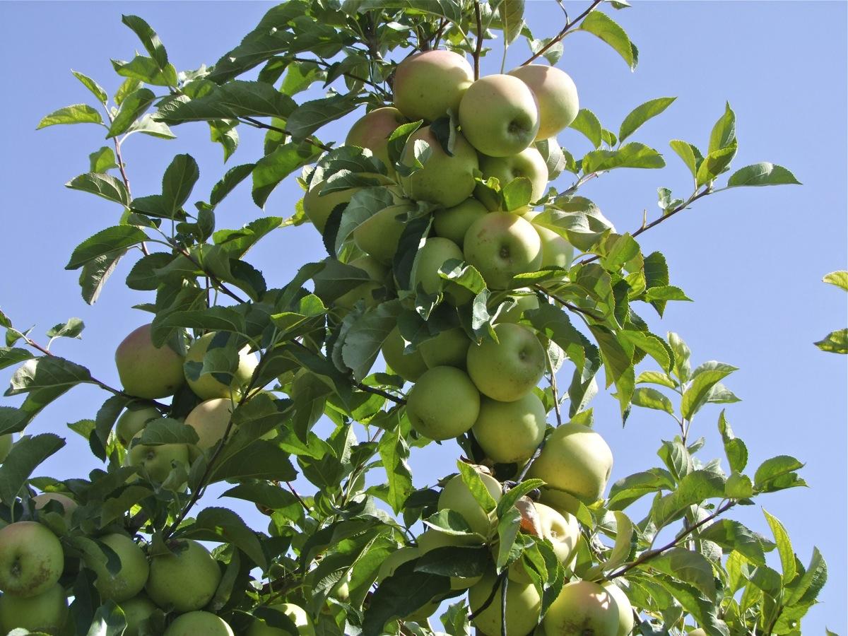 Cuando podar arboles frutales good curso de poda e for Cuando se podan los arboles frutales