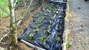 Plantación finalizada
