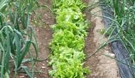 Plantar lechugas