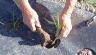 Plantar cebolla dulce deFuentes