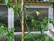 Como vemos en la foto, esta planta ya tiene tomates pequeños