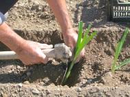 Plantar puerros