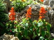 Salvia Roja