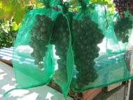 Embolsar las uvas de lasparras