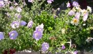 Recolectar semillas dePetunias