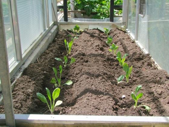 Acelgas recién plantadas