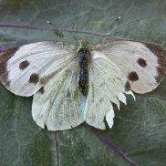 Mariposa hembra