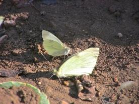Mariposas de la col