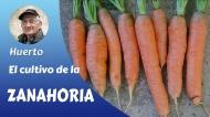 El cultivo de la zanahoria (video-tutorial)